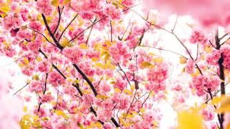 cherry flowers 4k 5k wallpapers hd wallpapers