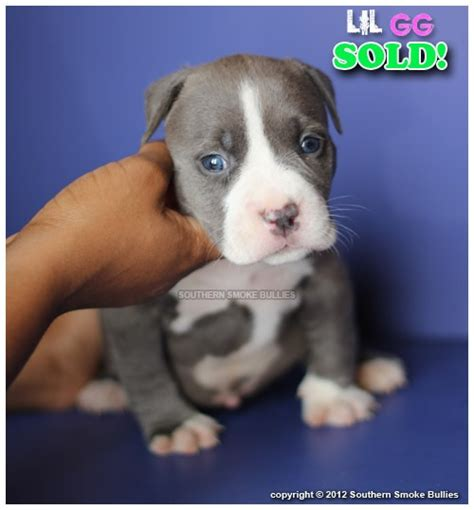 blue bully pitbull puppies for sale blue pitbull puppies