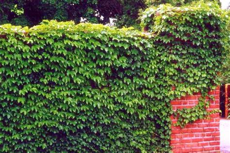 green climbing plants custom garden designs great resources vines