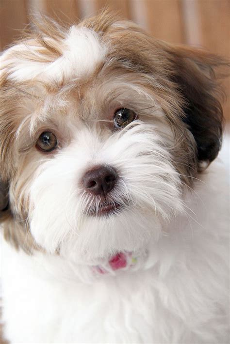 havanese dogs 25 best ideas about havanese grooming on