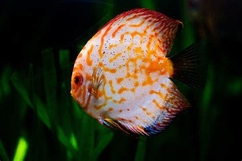 mengenal ikan discus  raja ikan air tawar aquascape