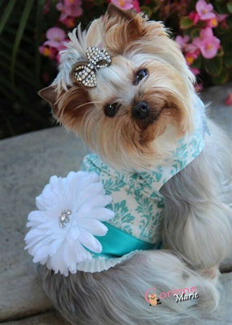i want a yorkie puppy i want a yorkie κουταβια puppies yorkies and