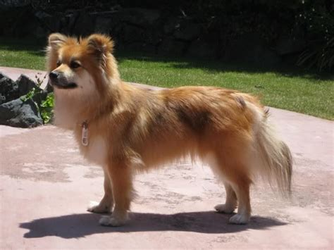 corgi x pomeranian pom corgi or pom sheltie dyed dogs and poodles