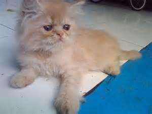So Untuk Kucing Anggora kucing domestik newhairstylesformen2014
