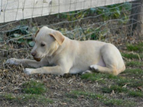 labrador suchen zuhause 12 labrador amstaff welpen suchen ein zu hause wbc
