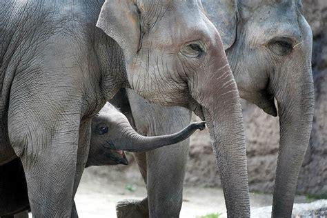 Asian elephants – Upali.ch