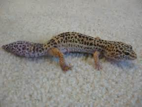 file leopard gecko with new tail jpg wikipedia
