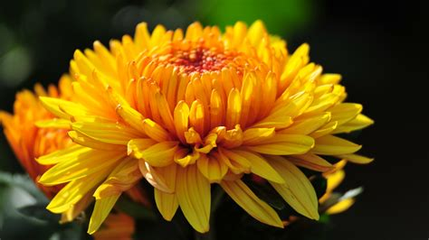 mums flower chrysanthemum flowers hd wallpaper 2015