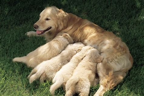how do dogs to be to puppies how do dogs show affection to puppies pets
