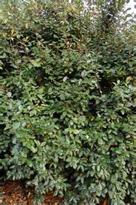 white flowering evergreen shrubs elaeagnus x ebbingei is an evergreen bushy and dense