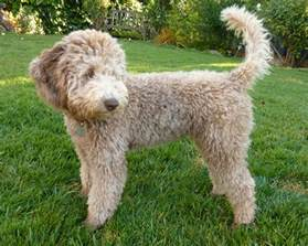 labradoodle hairstyles golden gate labradoodles authentic australian