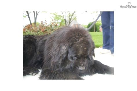 gray newfoundland puppies for sale bronze newfoundland puppies