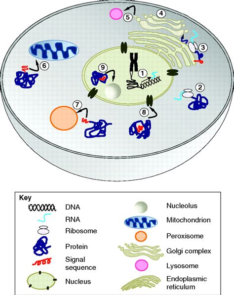 protein localization protein localization in disease and therapy journal of