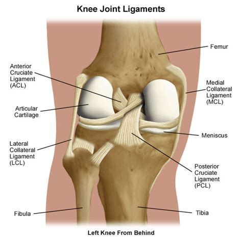 cruciate ligament tear learn about posterior cruciate ligament pcl injuries lehigh valley health network