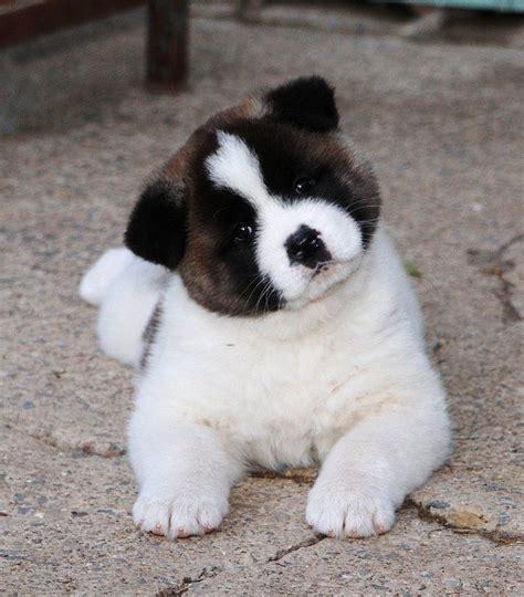 akitas puppies 144 best images about akitas on loyalty akita and japanese akita