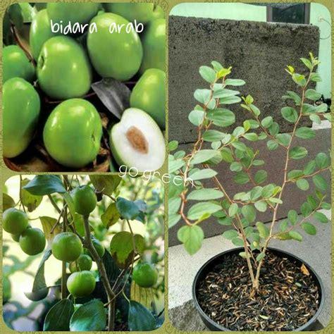 jual bibit buah tanaman pohon bidara arab di lapak go