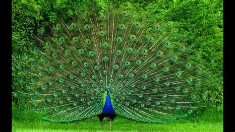 beautiful peacock dance  natural sound pets planet
