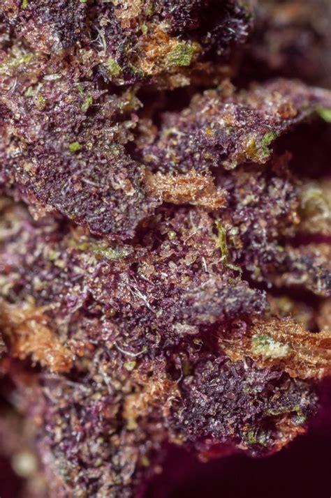 black strain black strain information marijuana
