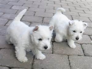 west highland white terrier puppies west highland white terrier puppies for sale in manchester
