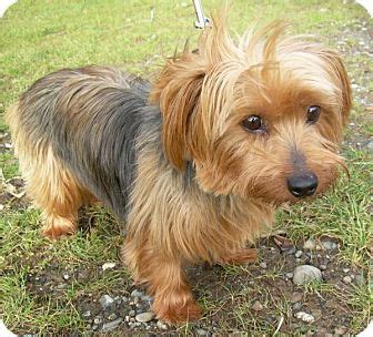 silky and yorkie mix adopted bellingham wa silky terrier yorkie terrier mix