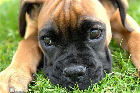 boxer puppies wisconsin datoteka boxer puppy fawn portrai jpg wikipedija