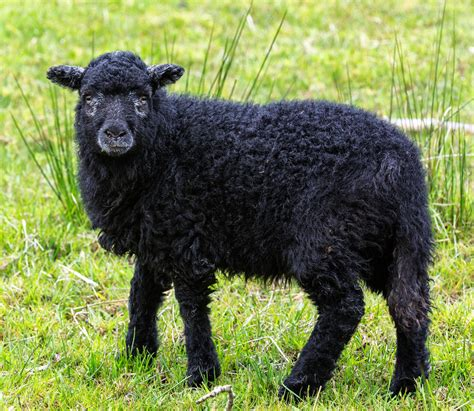 black sheep this or that black sheep wool www imgkid com the image kid has it