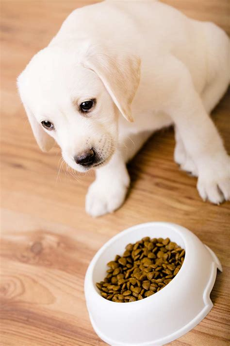 Dog Won T Eat His Food But Will Eat Treats | my dog won t eat what to do when your lab is off his food