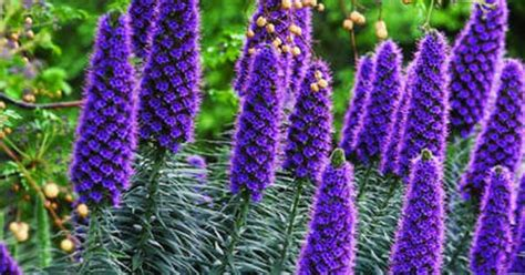 shrub with purple cone shaped flowers 9 great plants for seaside gardens gardens madeira and