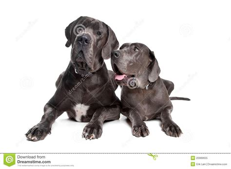 grey great dane puppies two grey great dane dogs royalty free stock photo image 20989655