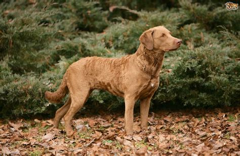chesapeake bay retriever colors chesapeake bay retriever breed facts highlights