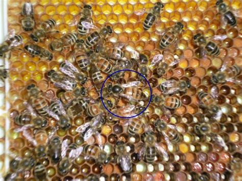 top 28 honey bees for sale bees for sale irish dark native honey bees british honey bees