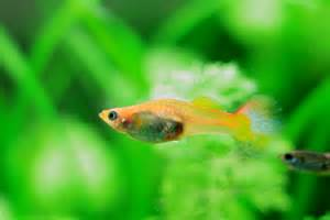 Freshwater Fish Keeper: Fancy  Care