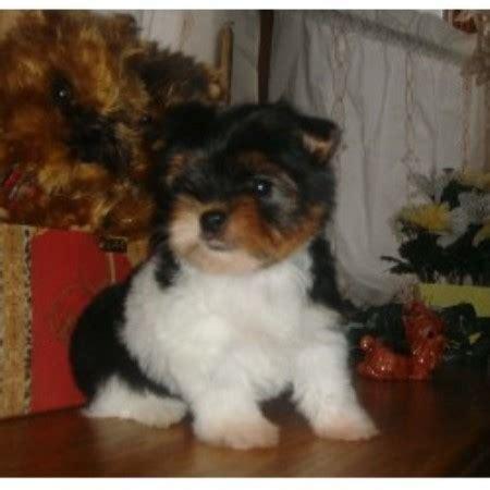 free yorkies michigan partitime s toybox terrier breeder in dearborn heights michigan