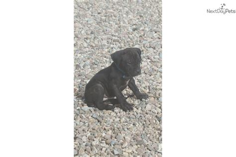 corso puppies for sale az corso mastiff puppy for sale near tucson arizona 6bbcfa43 5631