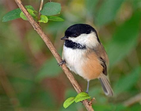 is the chickadee population in decline in michigan