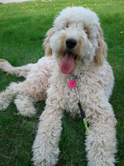 goldendoodle puppies mini goldendoodle puppies www imgkid the