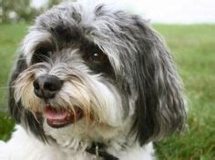 havanese vs coton de tulear and dogs on