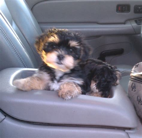 maltese yorkie and poodle mix yorkie maltese poodle mix my has issues breeds picture
