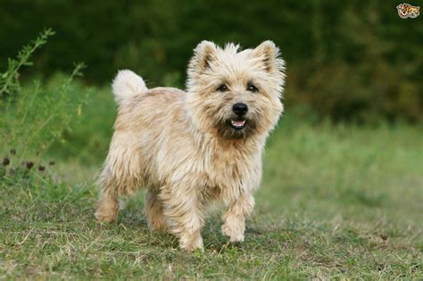 cairn terrier puppy cairn terrier breed information buying advice photos and facts pets4homes