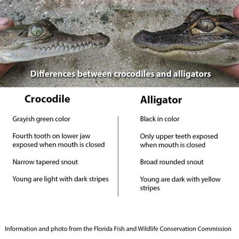 the difference between alligators and crocodiles what s the difference between a crocodile and an alligator quora