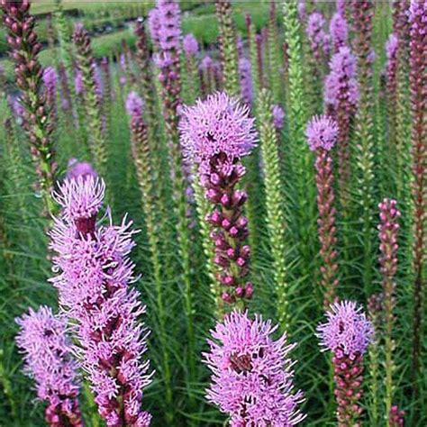 onlineplantcenter 1 gal purple blazing star gayfeather plant l836g1 the home depot