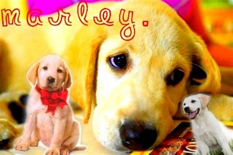 marley and me golden retriever marley and me images marley d wallpaper and background photos 3824378