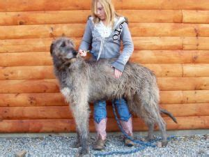 wolfhound puppies for sale ohio wolfhound puppies for sale wolfhound puppies