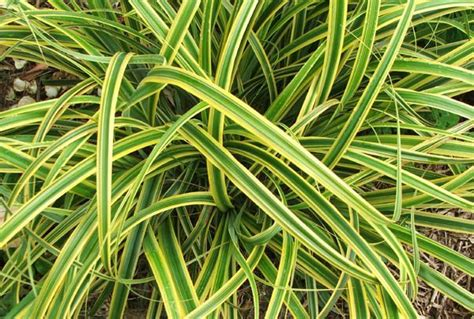 variegated grasses ornamental grasses pinterest