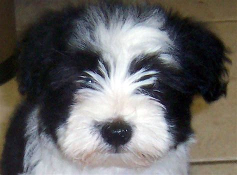 pictures of a havanese black and white havanese puppy www pixshark images galleries with a bite