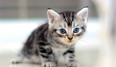 shorthair cat 5 things to about american shorthair cats