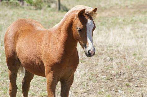 pony at pencoed ponies ponies sold