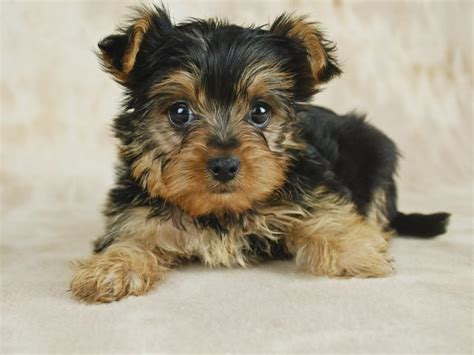 pics of miniature yorkies how to take care of a teacup yorkie puppy cuteness