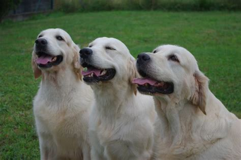 eleveur golden retriever accueil elevage de virlevent eleveur de chiens golden retriever