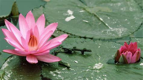 lotus desktop wallpaper lotus flower wallpapers wallpaper cave